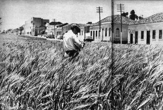 Canteiros da Avenida Brasil cobertos por plantação de trigo, 1957 (Foto: Revista Machete/Acervo digital IHPF)