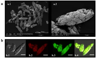 Ilustração das micropartículas desenvolvidas. A) Micrografia eletrônica de varredura. B) Estudo confocal da micropartícula