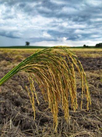 Uso de sementes certificadas é um dos fatores mais importantes para se obter uma alta produtividade nas lavouras orizícolas (Foto: Giovane Neu/Irga)
