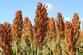 Cultivo triticale e de sorgo são alternativas para compor a matéria prima do etanol (Foto: Divulgação)