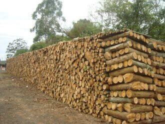 Maior parte da lenha comercializada na região de Passo Fundo é proveniente de plantações de eucalipto