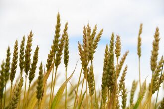 Nova cultivar não possui aristas e é usada exclusivamente para produção de silagem para gado