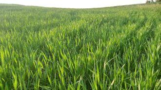 91% das lavouras de trigo estão em desenvolvimento vegetativo