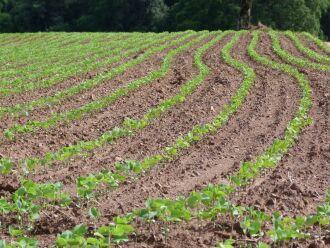 Por ser uma cultura mais rústica, soja resiste melhor a períodos de estiagem em comparação com o milho