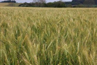 Os triticultores estão preocupados com a provável persistência do tempo úmido e quente das próximas semanas