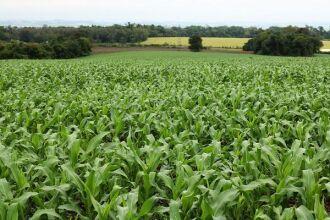 Plantio do milho atinge 95% da área prevista para esta safra, que é de 738.074 hectares