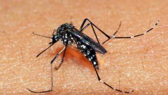 Mosquito Aedes aegypti é o transmissor do Zika Vírus