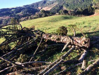 Sete pinheiros cortados em ocorrência no município de David Canabarro
