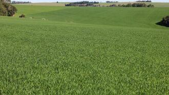 Lavoura de trigo em desenvolvimento na região de Santa Rosa