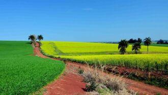 Entre as lavouras de canola no Estado, 33% da área está na fase de floração