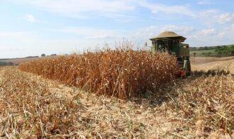 No Estado, o milho colhido tem produtividade variada em razão da falta de chuva