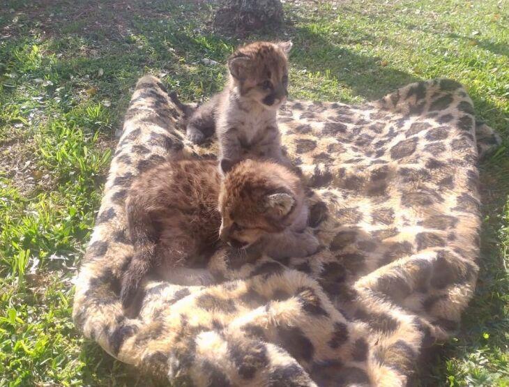 Filhotes ainda estão em fase de amamentação (Fotos: Divulgação)