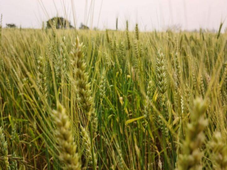 Conforme Informativo Conjuntural, 43% da lavoura de trigo no Estado está em fase de enchimento de grãos (Foto: Divulgação/Emater-RS)