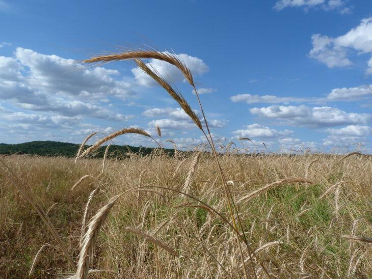 O ambiente mais seco da primavera tem sido favorável para reduzir a pressão de doenças nos cereais de inverno e configurado um melhor padrão nos grãos (Foto: Arquivo/ON)