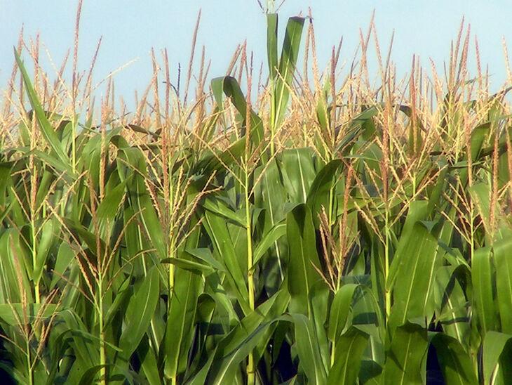 Outro fator que contribui para o recorde é o aumento na área plantada (Foto: Divulgação)