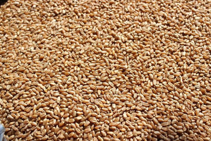 No detalhe, semente com inseto vivo que pode desclassificar lote de trigo para comercialização (Foto: Divulgação/Biotrigo)