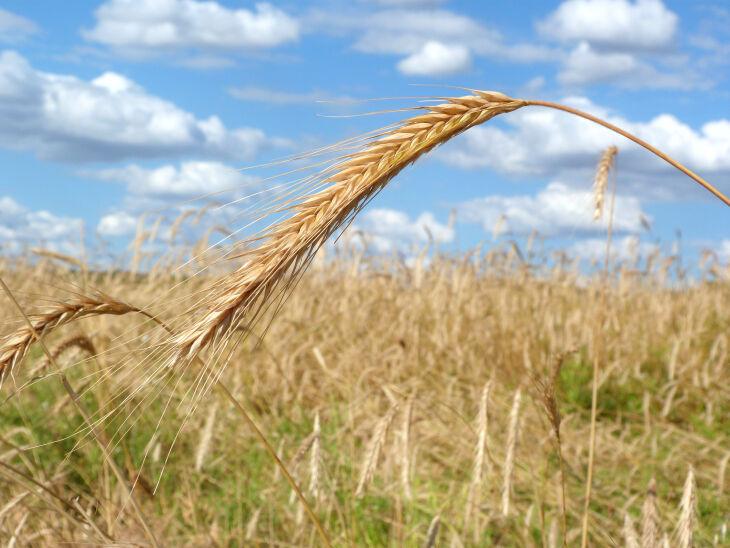Passo Fundo tem mais de 90 mil hectares de área plantada do grão