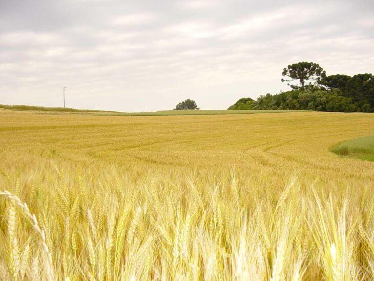 Trigo é a cultura com maior expressão econômica e ocupa a maior área de plantio no inverno