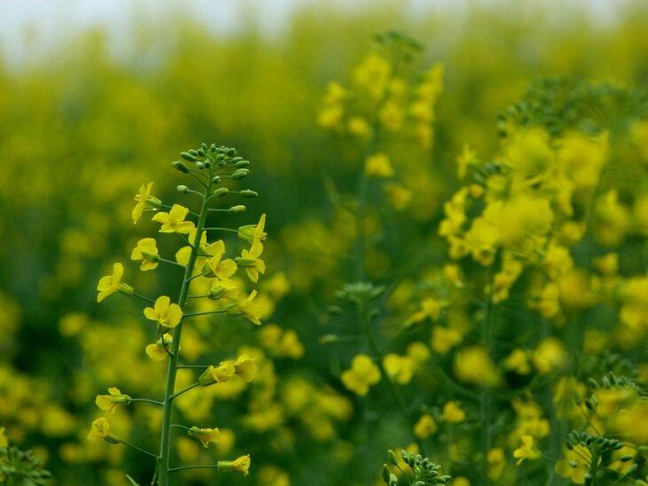 Cerca de 80% da área cultivada com canola está em fase de floração