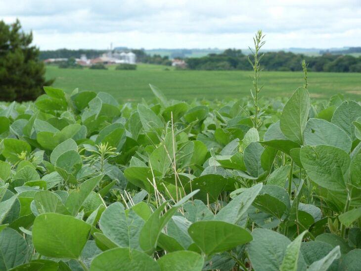 Estudo aponta que apenas uma planta por metro quadrado pode representar perdas entre 4% e 12% na soja