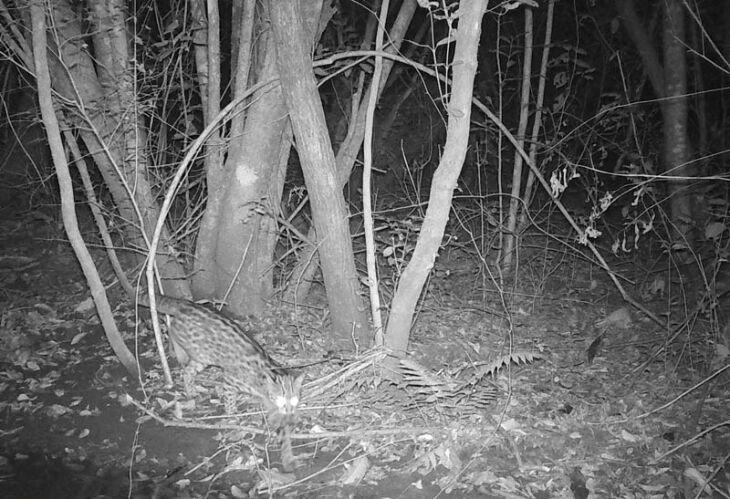 Gato do mato pequeno, em deslocamento, no período noturno em área de APP do Campus I da UPF