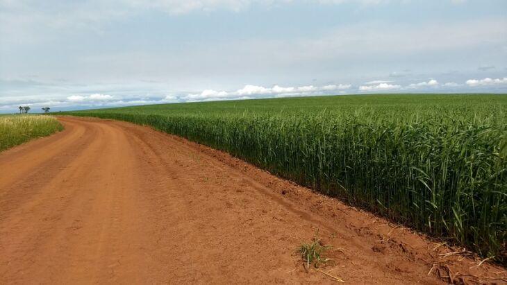 Volume de chuva abaixo da média não prejudica culturas de inverno que estão na fase da floração e início de enchimento de grão, de acordo com especialista
