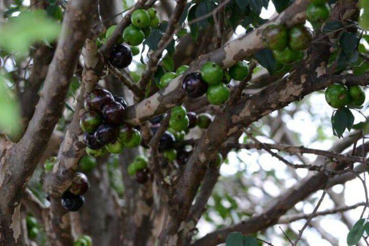 Jabuticaba é um dos frutos mais consumidos na região de Passo Fundo, neste época do ano